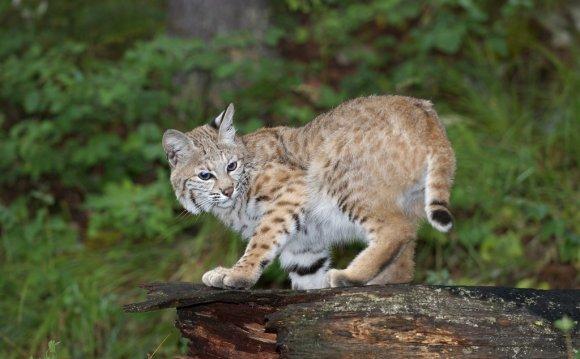 Adolescent Bobcat (Lynx rufus)