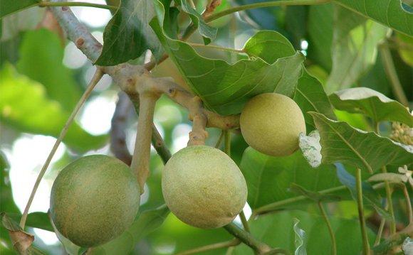 Green nuts on Kukui tree