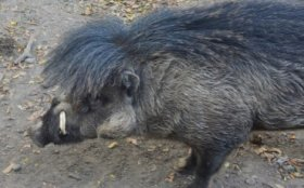 Phillipines_Visayan crested warty pig