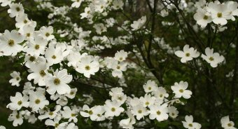 White Dogwood tree woodland by woodland Wander